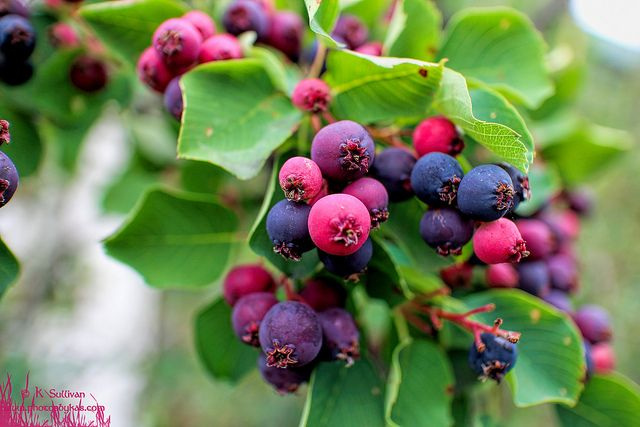 Saskatoons! | Flickr - Photo Sharing!