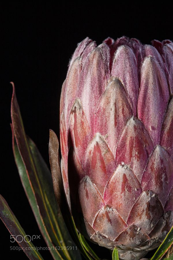 protea flower by contatonataliaviana. @go4fotos
