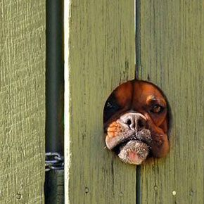 """"""" I can't believe my eyes....Joe Boxer next door got a new girlfriend...guess he won't mind if I run off and sniff his old one..."""""""
