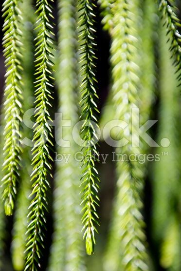 Cook's Pine Tree Needles in Differential Focus royalty-free stock photo