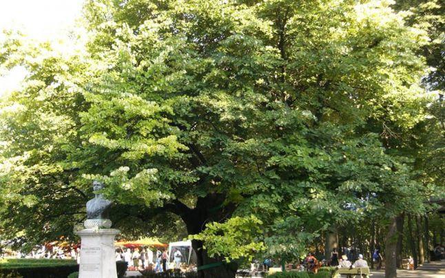 Teiul lui Eminescu împlineşte 460 de ani, dar este doar al şaptelea cel mai bătrân arbore din Iaşi. Unde se află cel mai impunător copac din judeţul moldav