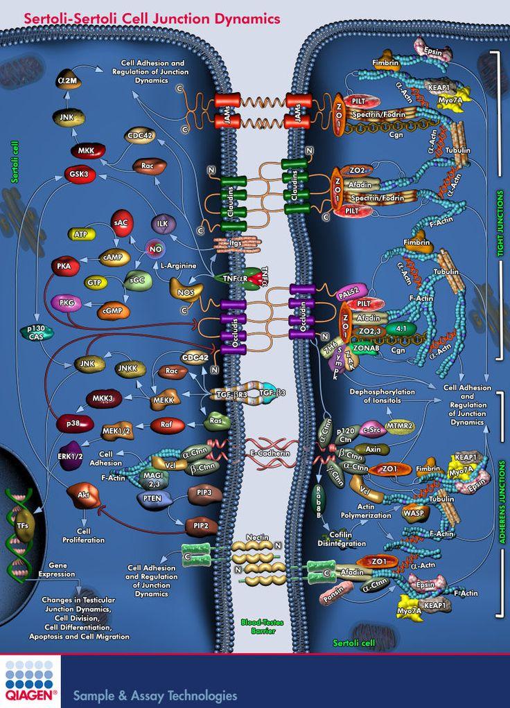 QIAGEN - GeneGlobe Pathways - Sertoli-Sertoli Cell Junction Dynamics