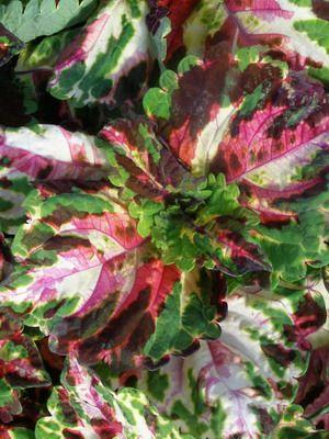 Цветок колеус: фото, виды и сорта, посадка, уход и выращивание колеуса гибридного