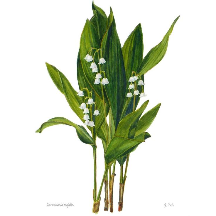 Lily Of The Valley Botanical Print Convallaria Majalis Floral Etsy In 2020 Botanical Prints Lily Of The Valley Botanical Floral Prints