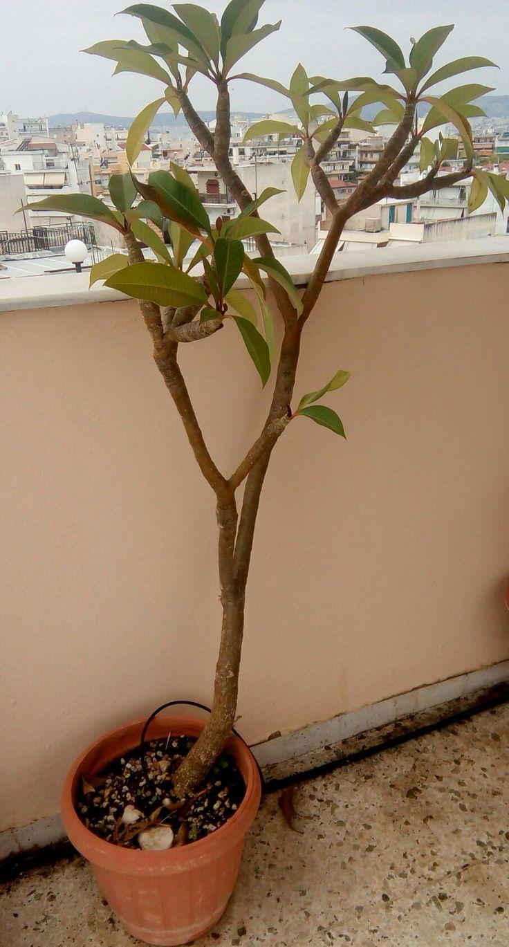 ΠλουμέριαήΠλουμερία(Plumeria)(κοινέςονομασίεςΦραντζιπάνι(Frangipani)),Ροδίτικο φούλι,Αιγυπτιακό φούλιήΙνδικό φούλι, είναι έναγένοςανθοφόρων φυτώνστην οικογένεια τωνΑποκυνίδων[1](Apocynaceae), στην οποία ανήκει και το γένος Απόκυνον(Apocynum),περιλαμβάνει κυρίως φυλλοβόλουςθάμνουςκαι μικράδένδρα. Είναι εγγενές στηνΚεντρική Αμερική, τοΜεξικό, τηνΚαραϊβικήκαι τηΝότια Αμερικήως μακρινό νότο, στηΒραζιλία αλλά μπορεί να καλλιεργηθεί στις τροπικές και υποτροπικές περιοχές.