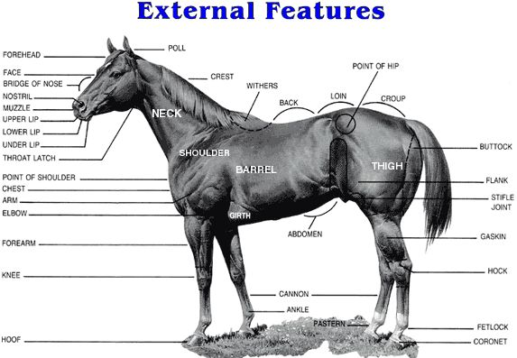 22 best images about horse anatomy on pinterest