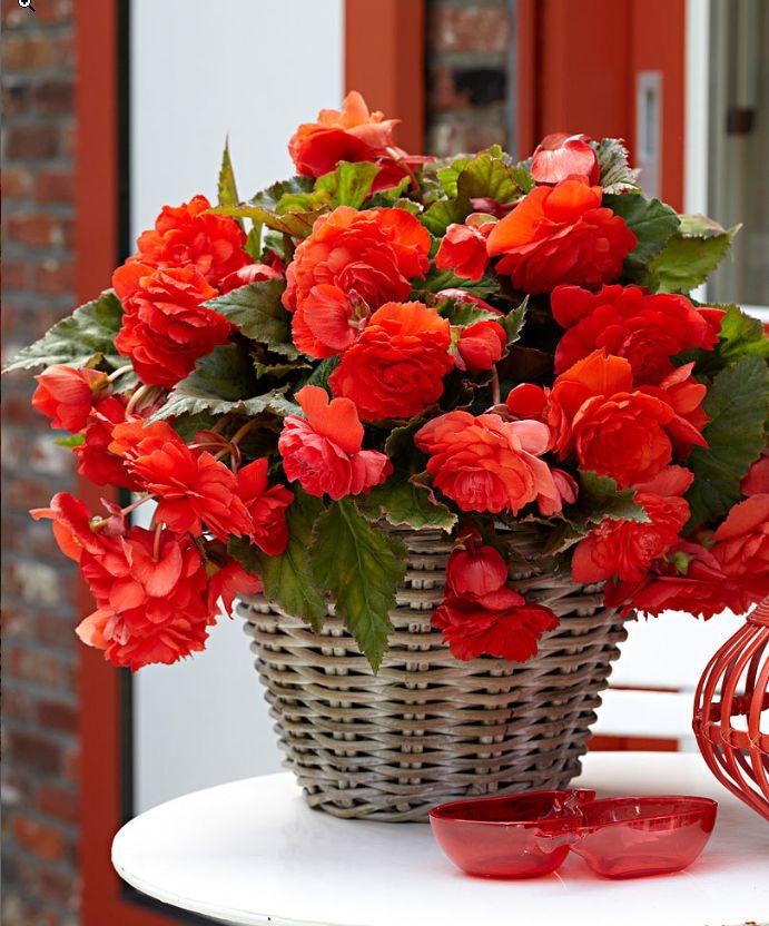#begonie #pendenti #profumate #cascaderedglory #summer #estate #flowers #fiori #red #rosso