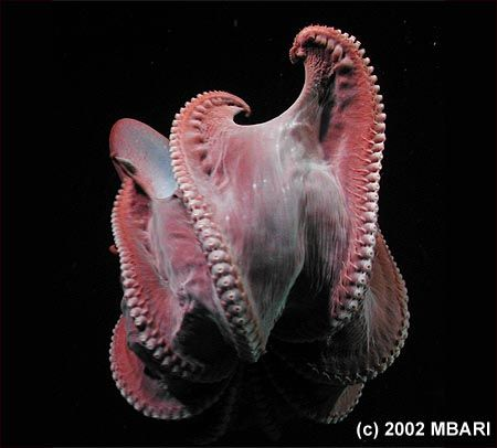 "This photograph shows a deep-sea octopus in the genus Stauroteuthis that has turned itself inside out, perhaps as a defensive maneuver. What you are seeing is the underside of six of the octopus' eight tentacles, as well as the underside of the fleshy web that stretches between the tentacles. In between the octopus' suckers, you can see small spines called ""cirrae,"" which are believed to help the octopus grab and hold prey. Although many octopus live on the seafloor, Stauroteuthis usually…"