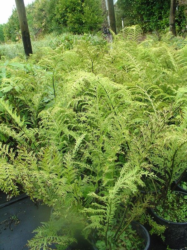 Asplenium bulbiferum is widespread throughout New Zealand, growing in lowland forests. The fronds are erect to a height of approx. 1.2m. The fronds produce small daughter plantlets on the leaves, which separate from the mother plant to become new ferns. Hence the 'chickens' of the 'hen' plant.