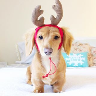 This lil' Weendeer.   Community Post: 20 Christmas Dachshunds Who Are Totally Ready For The Holidays