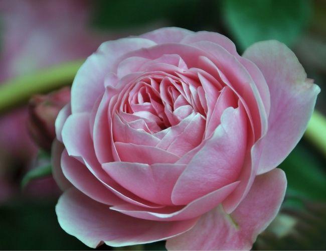 Róża damasceńska to gatunek uprawiany od czasów starożytnych w basenie Morza Śródziemnego. Charakteryzują ją piękne, duże kwiaty oraz niesamowity zapach, który od wieków wykorzystywany był w celu poprawienia nastroju i zwalczania wielu dolegliwości (geraniol występujący w róży działa antyseptycznie).