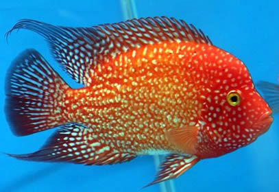 Google Image Result for http://www.personal.psu.edu/afr3/blogs/SIOW/cichlid%2520fish.jpg