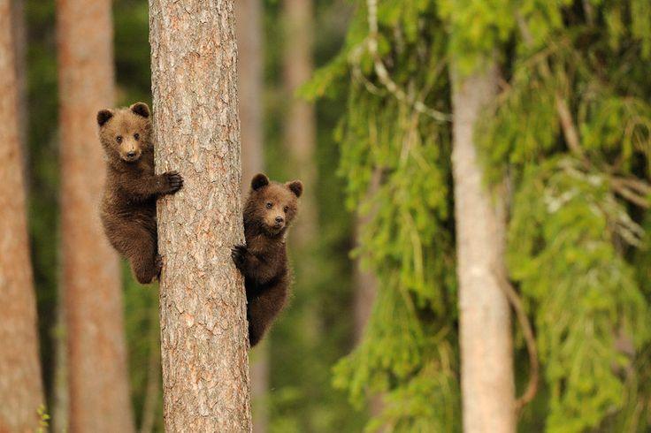 "Brown Bear cubs -  by Danilo Ernesto Melzi - model Ursus arctos http://en.wikipedia.org/wiki/Brown_bear - #Danilo_Ernesto_Melzi - Location 64°6'12""N, 29°32'42""E"