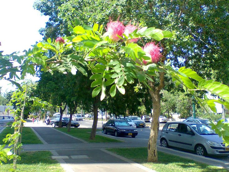 Цветущие деревья Израиля  -  Альбиция  ленкоранская.   in_es
