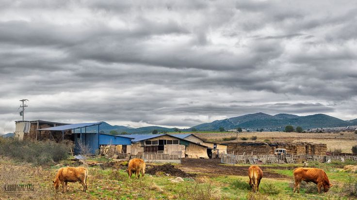 Cows under clouds