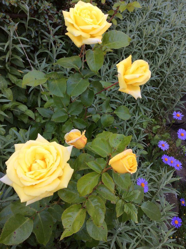 Popínavá růže