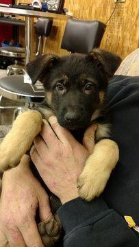 Litter of 5 German Shepherd Dog puppies for sale in SAINT CHARLES, MI. ADN-63637 on PuppyFinder.com Gender: Female. Age: 8 Weeks Old #germanshepherd