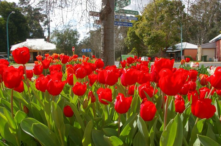 A splash of vibrant red along the main street during the Nannup Flower and Garden Festival #nannuprealestate #naturallynannup