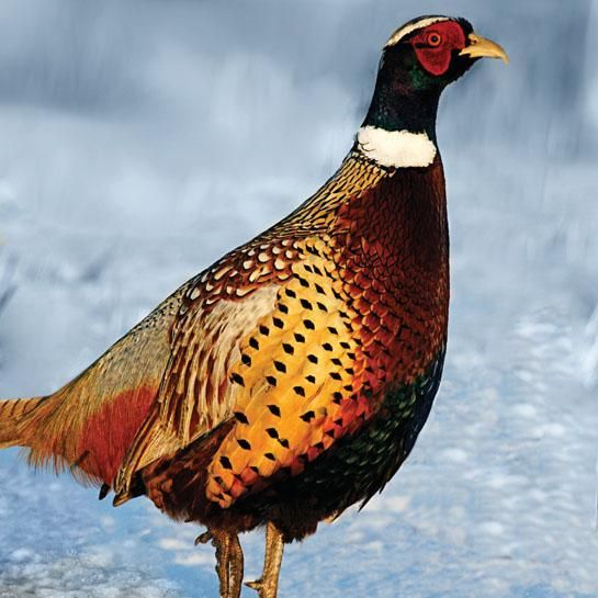 Pheasant Hunting: 6 Ways to Outsmart Late-Fall Roosters | Outdoor Life