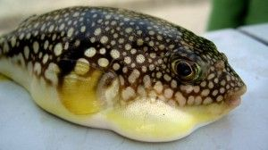 Eating Fugu - blowfish sushi from Japan - can be delicious and deadly! http://igg.me/at/grossfoodguide