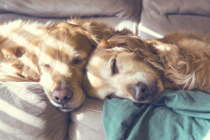 Golden snuggles