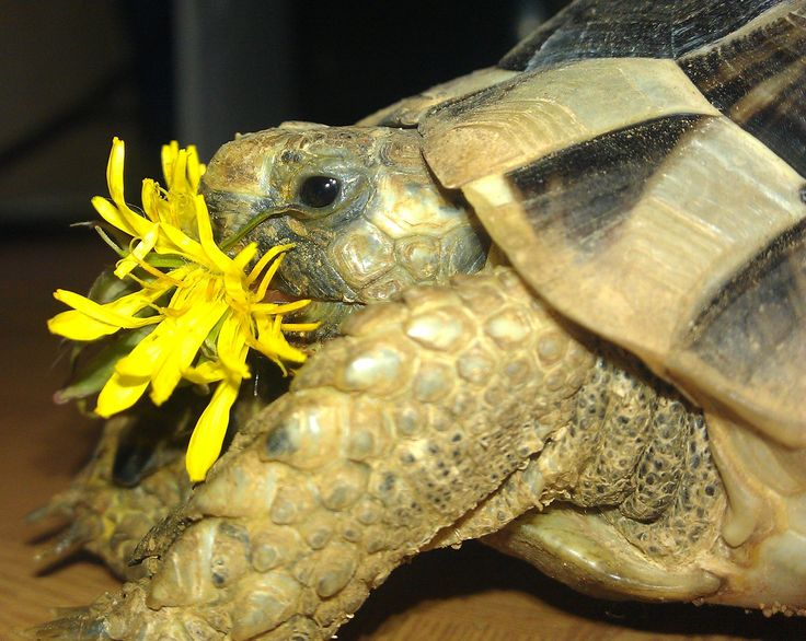 Tunisian spur thighed tortoise