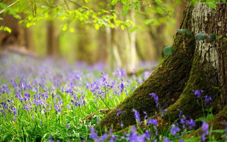 Drzewo, Fioletowe, Kwiaty