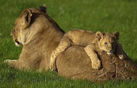 Google Image Result for http://images2.fanpop.com/images/photos/7800000/lioness-with-her-cub-all-about-lions-7874538-440-283.jpg