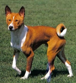 Basenji. They are members of the hound group. They are great hunters and companions. They stand at 16-17 inches at the shoulder and weigh about 22-24 pounds.