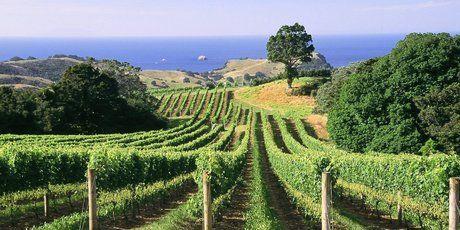 Waiheke vineyard, Auckland