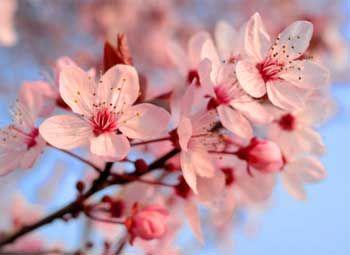 Cherry blossoms ❤