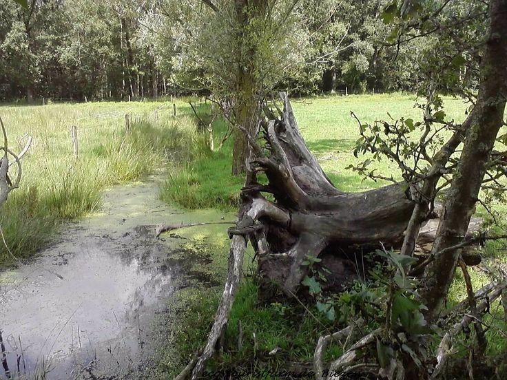 Onze blauwgraslanden die worden begraast door Dexterrunderen #Natuurkampeerterrein De Biezen