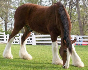 An old favorite, the clydesdale.  I love how leggy they are for draft horses.  They act like dogs, I love them.  I would love to train one for hunter/jumper.: Hors Wallpapers, Busch Gardens, Budwei Clydesd, Beautiful Hors, Drafting Hors, Hors Pictures, Clydesd Hors, Beautiful Creatures, Hors Breeds