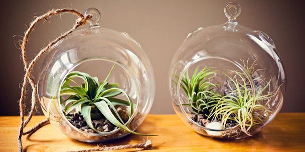 Air Plants Aka Tillandsia Can Live Quite Contentedly In A Boutonniere Or Hanging From A
