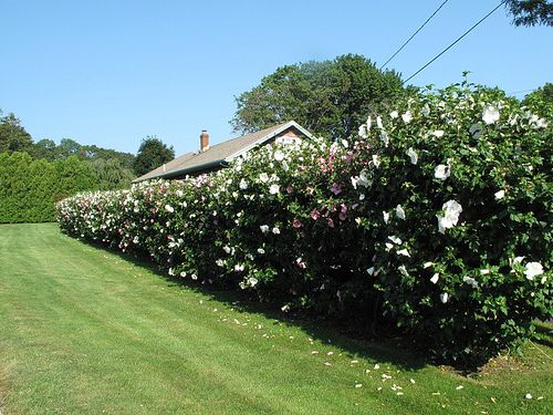 Rose of Sharon hedge.  Another possibility.