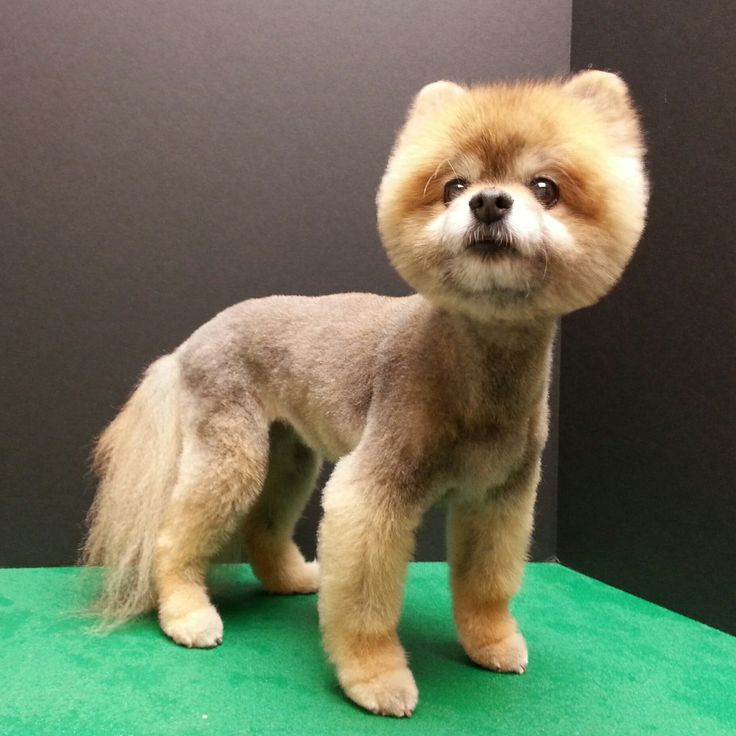 pomeranian boo haircut best 28 grooming by kristen images on 4816 | 1b931ec37179d6effe84e14d29632042 pomeranian haircut toy pom