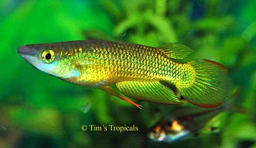Golden Wonder Killifish Fish I Want To Own Someday