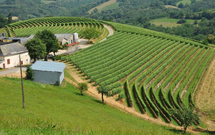 Vignes de Jurançon - France