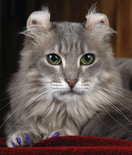 """L'american curl - #CoolCatTreeHouse =^..^=Thanks, Pinterest Pinners, for stopping by, viewing, re-pinning, & following my boards. Have a beautiful day! ^..^ and """"Feel free to share on Pinterest ^..^ #catsandme #cats #doghealthcareblog"""