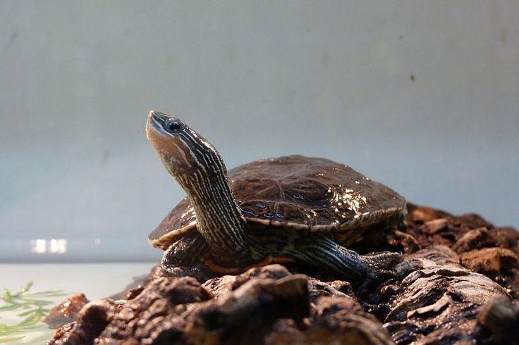 La tortue Mauremys rivulata vit en milieu méditerranéen. Elle tolère des eaux polluées et saumâtres. Le manque de diversité génétique de cet...