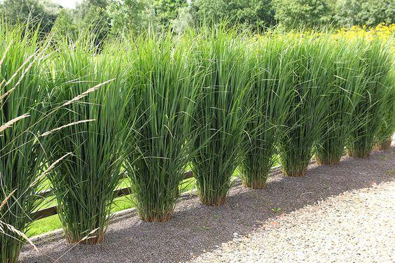 Bildergebnis f r siergras northwind garten pinterest for Outdoor ornamental grasses