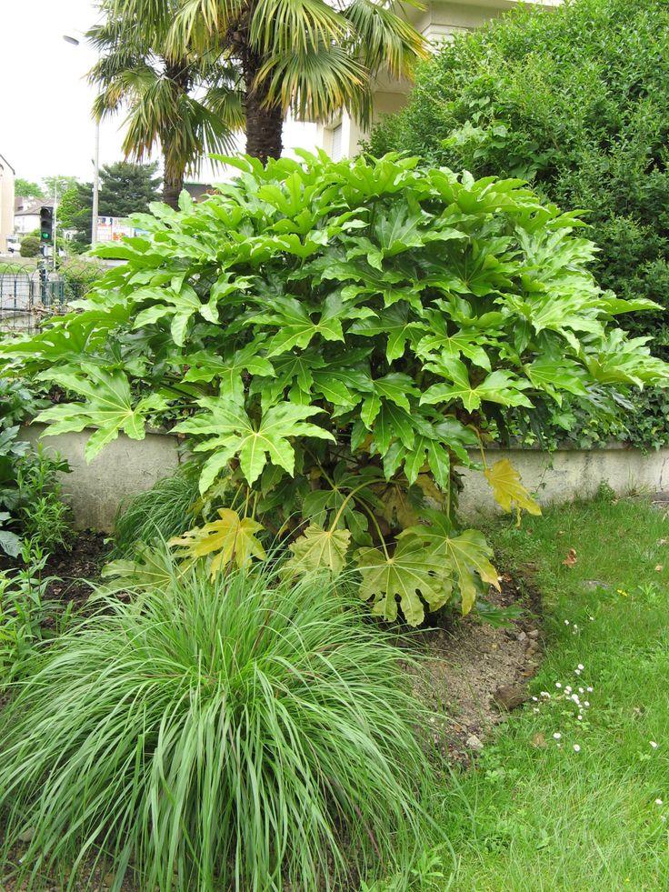 Les 25 meilleures id es de la cat gorie arbuste japonais - Arbuste japonais persistant ...