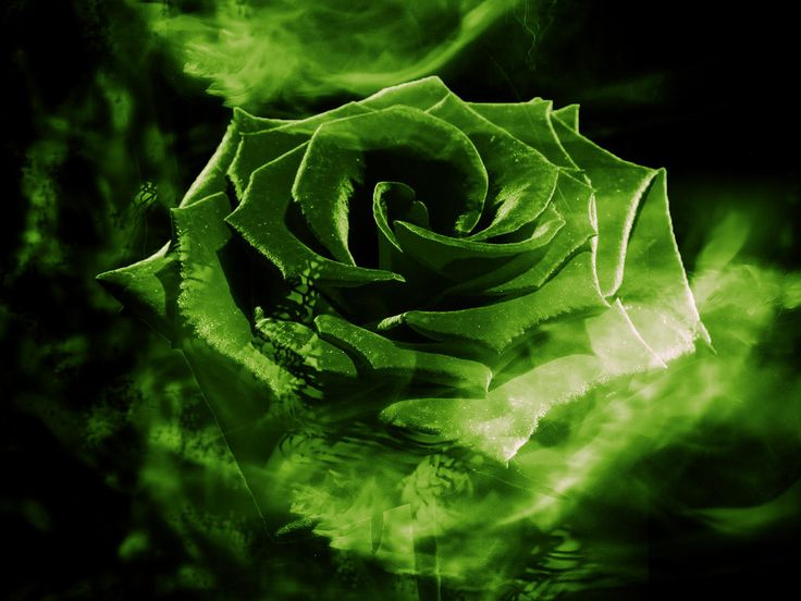 Photo Quality HD Green Rose Backgrounds By Antonetta Cavins