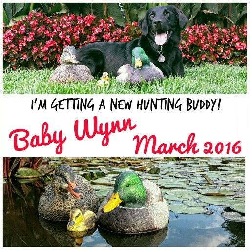 Our duck hunting and dog pregnancy announcement!