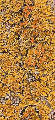 Lichen, from tree bark on the prairies https://www.smashwords.com/books/search?query=john+pirillo