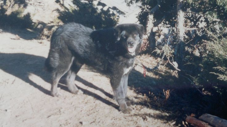 This is the fearsome Mastiff that guarded the Temple of Lawudo in the Everest Region in the 1980,s... http://www.everherenow.com/p/books-by-writer_8768.html