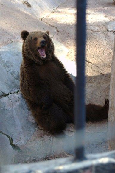 Oso pardo Zoologico de Mendoza