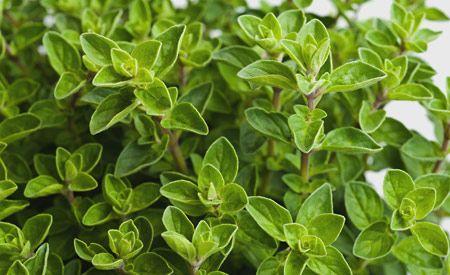 (Zentrum der Gesundheit) Oregano ist eine aromatische und sehr heilkräftige Pflanze, die aus der Bergwelt der Mittelmeerländer stammt. Oregano zählt zu den kraftvollsten Kräutern und den wirkungsvollsten natürlichen Antibiotika, die jemals untersucht wurden. Oregano ist darüber hinaus ein stark fungizides Mittel. Daher wirkt er gut bei Pilz-Infektionen aller Art. Interessant ist ausserdem seine blutverdünnende Wirkung, so dass er auch in der Schlaganfall-/Herzinfarktprophylaxe eingesetzt…