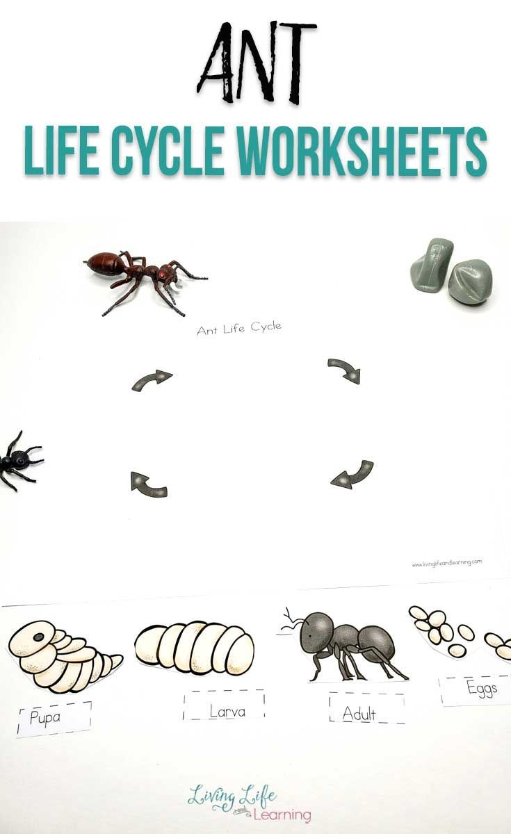 Ant Life Cycle Worksheets Ant Life Cycle Life Cycles Kindergarten Science Activities [ 1200 x 735 Pixel ]
