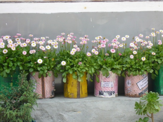 Love these english daisies growing in recycled cans